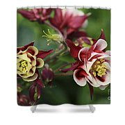 Columbine In Spring Shower Curtain
