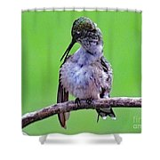 Combing His Feathers - Ruby-throated Hummingbird Shower Curtain