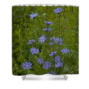 Common Chicory Wildflowers #1 Shower Curtain