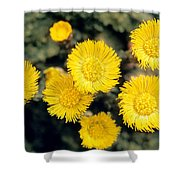 Common Coltsfoot  Shower Curtain