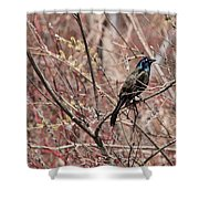 Common Grackle In Spring Shower Curtain