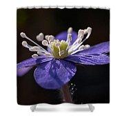 Common Hepatica Shower Curtain