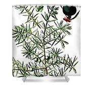 common juniper, Juniperus communis Shower Curtain