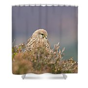 Common Kestrel Falco Tinnuculus Perched On Rock Shower Curtain