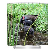 Common Moorhen And Chick Shower Curtain