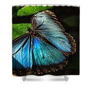 Common Morpho Blue Butterfly Shower Curtain