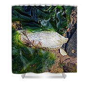 Common Piddock - Pholas Dactylus Shower Curtain