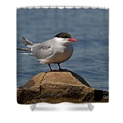 Common Tern... Shower Curtain