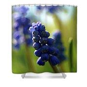 Compact Grape-hyacinth 2 Shower Curtain