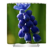 Compact Grape-hyacinth Shower Curtain