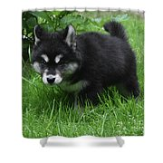 Concern Expressed On The Face Of An Alusky Pup Shower Curtain