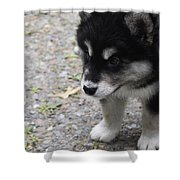 Concern On The Face Of An Alusky Puppy Shower Curtain