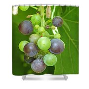 Concord Grapes On The Vine Shower Curtain