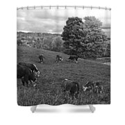 Congregating Cows. Jenne Farm Cow Reading Vermont Black And White Shower Curtain