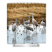 Congregating Sandhill Cranes Shower Curtain