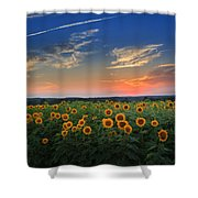 Connecticut Sunflowers In The Evening Shower Curtain