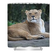 Contented Lioness Shower Curtain