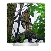 Cooper Hawk Shower Curtain
