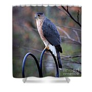 Coopers Hawk In Autumn Shower Curtain