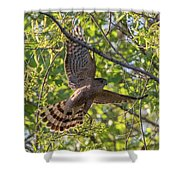 Cooper's Hawk In Early Morning Light Shower Curtain