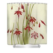 Coral Drops  Bessera Elegans Shower Curtain