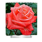 Coral Rose At Pilgrim Place In Claremont-california   Shower Curtain