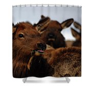 Cow Elk At Hardware Ranch Shower Curtain