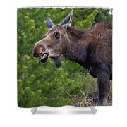 Cow Moose-signed-#4016 Shower Curtain