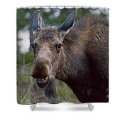 Cow Moose-signed-#4036 Shower Curtain