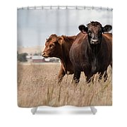 Cows In The Fall Pasture Shower Curtain