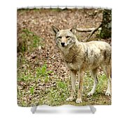 Coyote In Cades Cove Shower Curtain