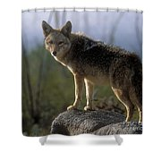 Coyote In Ocotillo Trees Shower Curtain