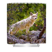 Coyote In The Rocky Mountain National Park Shower Curtain