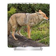 Coyote On A Log Closeup Shower Curtain