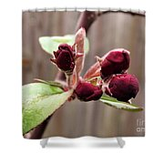 Crab-apple Tree Flower Buds Shower Curtain