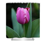 Cradled Pink Tulip Shower Curtain