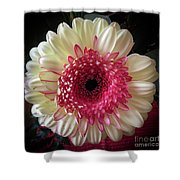 Cranberry And White Shower Curtain