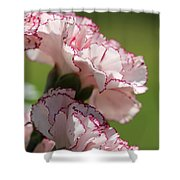 Creamy White With Red Picotee Carnation Shower Curtain