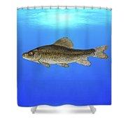 Creek Chubsucker Blue Lagoon  Shower Curtain