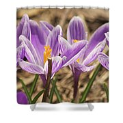 Crocuses 2 Shower Curtain