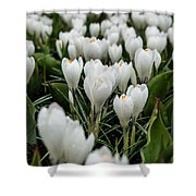 Crocuses 5 Shower Curtain