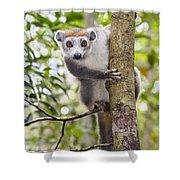 Crowned Lemur Madagascar Shower Curtain