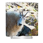 Curious Goat On The Mount Massive Summit Shower Curtain