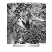 Curious Wolf Pup Shower Curtain