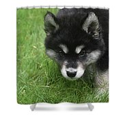 Curiousity Filled Look In The Face Of An Alusky Shower Curtain