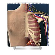 Cutaway View Of Male Chest Showing Lung Shower Curtain