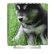 Cute Alusky Puppy Dog Sitting In Green Grass Shower Curtain