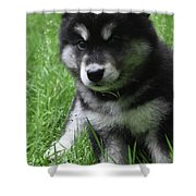 Cute Fluffy Alusky Puppy Sitting Up In A Yard Shower Curtain