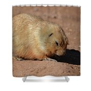 Cute Ground Squirrel Burrowing In The Dirt Shower Curtain