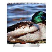 Cute Male Mallard Duck Shower Curtain
